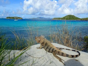 An iguana in the Tobago Cays looking out over our yacht Chao Lay.